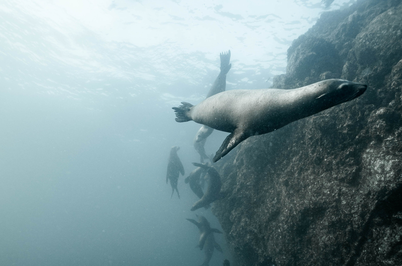 oceano salute laica sea lion